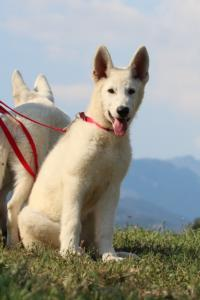 White-Swiss-Shepherd-Breeding-Male-BTWW-Wahlman-August-2018-0084