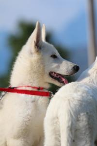 White-Swiss-Shepherd-Breeding-Male-BTWW-Wahlman-August-2018-0090