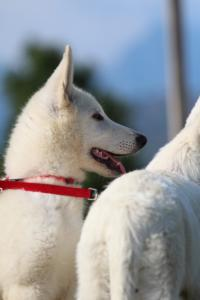 White-Swiss-Shepherd-Breeding-Male-BTWW-Wahlman-August-2018-0091