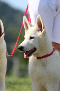 White-Swiss-Shepherd-Breeding-Male-BTWW-Wahlman-August-2018-0134