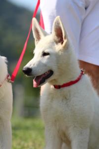 White-Swiss-Shepherd-Breeding-Male-BTWW-Wahlman-August-2018-0135
