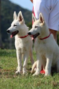 White-Swiss-Shepherd-Breeding-Male-BTWW-Wahlman-August-2018-0138