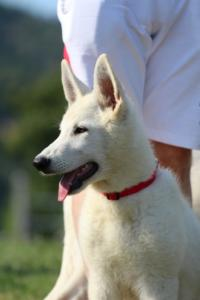 White-Swiss-Shepherd-Breeding-Male-BTWW-Wahlman-August-2018-0149