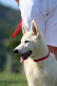White-Swiss-Shepherd-Breeding-Male-BTWW-Wahlman-August-2018-0151