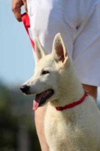 White-Swiss-Shepherd-Breeding-Male-BTWW-Wahlman-August-2018-0189