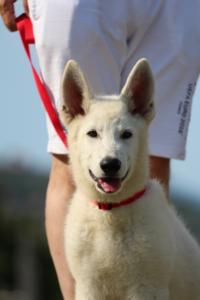 White-Swiss-Shepherd-Breeding-Male-BTWW-Wahlman-August-2018-0194