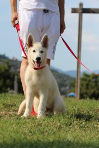 White-Swiss-Shepherd-Breeding-Male-BTWW-Wahlman-August-2018-0196