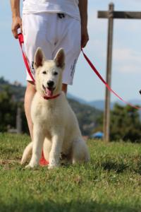 White-Swiss-Shepherd-Breeding-Male-BTWW-Wahlman-August-2018-0197