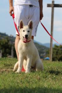 White-Swiss-Shepherd-Breeding-Male-BTWW-Wahlman-August-2018-0198
