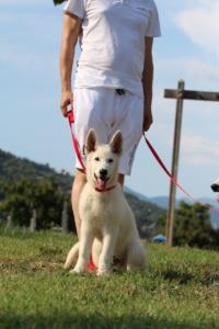 White-Swiss-Shepherd-Breeding-Male-BTWW-Wahlman-August-2018-0199