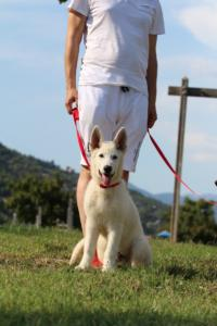 White-Swiss-Shepherd-Breeding-Male-BTWW-Wahlman-August-2018-0200