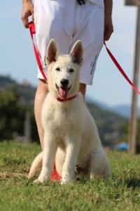 White-Swiss-Shepherd-Breeding-Male-BTWW-Wahlman-August-2018-0202