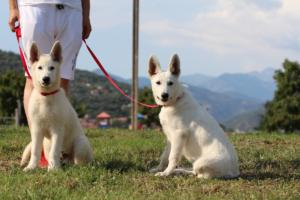 White-Swiss-Shepherd-Breeding-Male-BTWW-Wahlman-August-2018-0207