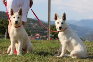 White-Swiss-Shepherd-Breeding-Male-BTWW-Wahlman-August-2018-0209