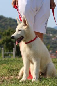 White-Swiss-Shepherd-Breeding-Male-BTWW-Wahlman-August-2018-0215