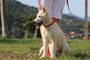 White-Swiss-Shepherd-Breeding-Male-BTWW-Wahlman-August-2018-0216