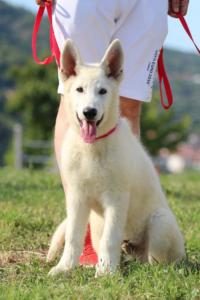 White-Swiss-Shepherd-Breeding-Male-BTWW-Wahlman-August-2018-0217