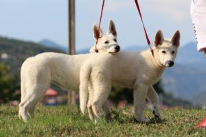 White-Swiss-Shepherd-Breeding-Male-BTWW-Wahlman-August-2018-0219