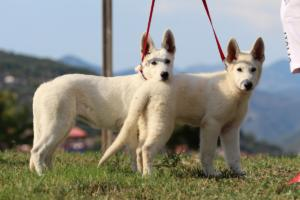 White-Swiss-Shepherd-Breeding-Male-BTWW-Wahlman-August-2018-0220