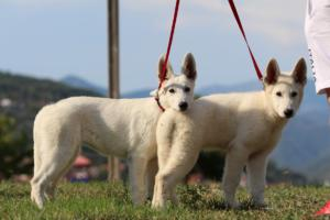 White-Swiss-Shepherd-Breeding-Male-BTWW-Wahlman-August-2018-0222