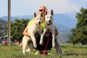 White-Swiss-Shepherd-Breeding-Male-BTWW-Wahlman-August-2018-0273