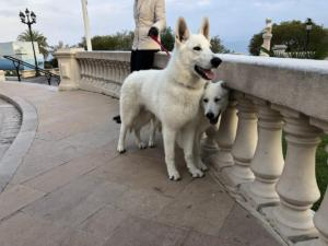 White-Swiss-Shepherd-Male-Born-to-Win-White-Escobar-20