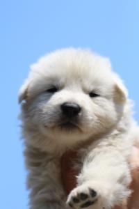 BTWW-White-Swiss-Shepherd-Puppies-June-2018-007