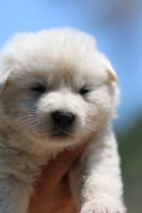 BTWW-White-Swiss-Shepherd-Puppies-June-2018-008