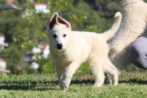 White-Swiss-Shepherd-Puppies-BTWW-F-August-2018-0018