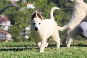 White-Swiss-Shepherd-Puppies-BTWW-F-August-2018-0019