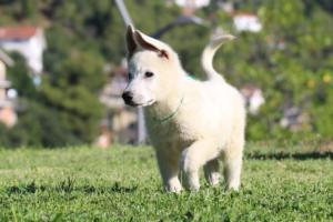 White-Swiss-Shepherd-Puppies-BTWW-F-August-2018-0020