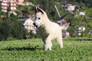White-Swiss-Shepherd-Puppies-BTWW-F-August-2018-0021