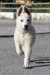 White-Swiss-Shepherd-Puppies-BTWW-F-August-2018-0023