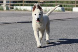 White-Swiss-Shepherd-Puppies-BTWW-F-August-2018-0024