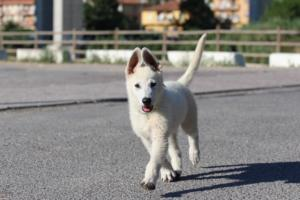 White-Swiss-Shepherd-Puppies-BTWW-F-August-2018-0025