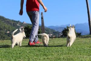 White-Swiss-Shepherd-Puppies-BTWW-F-August-2018-0026