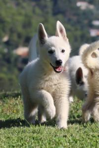 White-Swiss-Shepherd-Puppies-BTWW-F-August-2018-0027