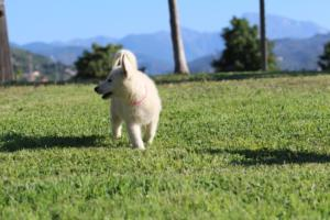 White-Swiss-Shepherd-Puppies-BTWW-F-August-2018-0028