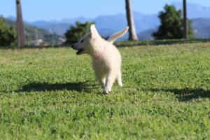 White-Swiss-Shepherd-Puppies-BTWW-F-August-2018-0029