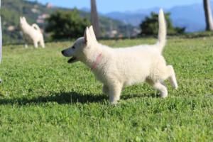 White-Swiss-Shepherd-Puppies-BTWW-F-August-2018-0030