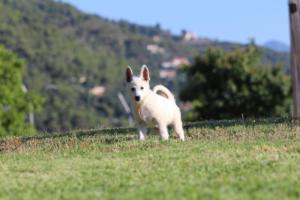 White-Swiss-Shepherd-Puppies-BTWW-F-August-2018-0031