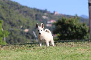 White-Swiss-Shepherd-Puppies-BTWW-F-August-2018-0032