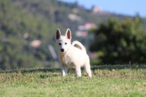 White-Swiss-Shepherd-Puppies-BTWW-F-August-2018-0033