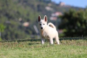 White-Swiss-Shepherd-Puppies-BTWW-F-August-2018-0034