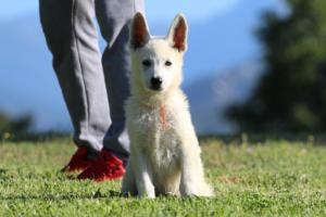 White-Swiss-Shepherd-Puppies-BTWW-F-August-2018-0038