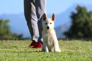 White-Swiss-Shepherd-Puppies-BTWW-F-August-2018-0039