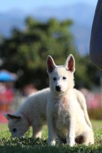 White-Swiss-Shepherd-Puppies-BTWW-F-August-2018-0040