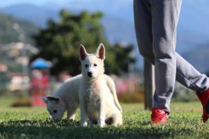 White-Swiss-Shepherd-Puppies-BTWW-F-August-2018-0041