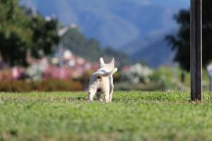 White-Swiss-Shepherd-Puppies-BTWW-F-August-2018-0042