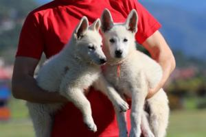 White-Swiss-Shepherd-Puppies-BTWW-F-August-2018-0046